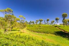 Paesaggio di verde della piantagione di tè nello Sri Lanka Immagini Stock