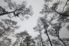 Paesaggio di viaggio - foschia e pini Immagine Stock Libera da Diritti