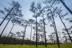 Paesaggio di viaggio - foschia e pini Immagini Stock Libere da Diritti
