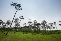Paesaggio di viaggio - foschia e pini Fotografia Stock Libera da Diritti