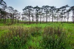 Paesaggio di viaggio - foschia e pini Immagine Stock