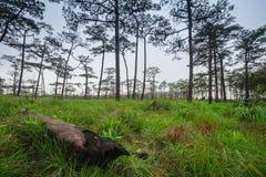 Paesaggio di viaggio - foschia e pini Immagini Stock