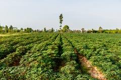 Paesaggio di vista di agricoltura della pianta verde dell'azienda agricola della manioca Fotografia Stock Libera da Diritti