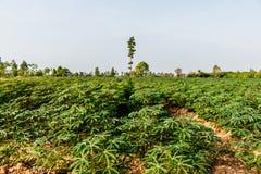 Paesaggio di vista di agricoltura della pianta verde dell'azienda agricola della manioca Fotografia Stock