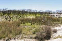 Paesaggio dopo l'incendio di arbusti Parco nazionale di Booderee NSW l'australia Fotografia Stock Libera da Diritti