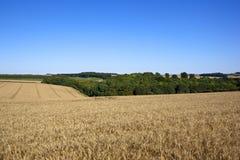 Paesaggio dorato del grano Fotografia Stock