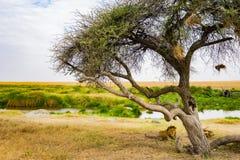 Paesaggio e fauna selvatica in Tanzania - elefante Immagini Stock Libere da Diritti