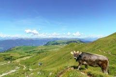 Paesaggio e mucca della montagna di Schlern nel Tirolo del sud Fotografie Stock Libere da Diritti