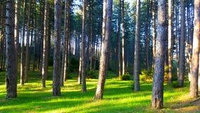 Paesaggio fantastico della natura Erba verde pura illuminata dal Sun e la fine ed i precedenti sempreverdi dell'albero su fotografia stock libera da diritti