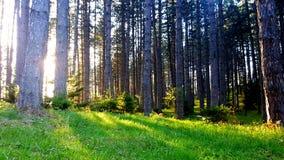 Paesaggio fantastico della natura Erba verde pura illuminata dal Sun e la fine ed i precedenti sempreverdi dell'albero su immagini stock