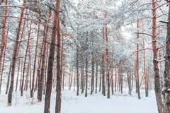 Paesaggio gelido di inverno nei rami nevosi del pino della foresta coperti di neve in tempo freddo di inverno Fotografia Stock