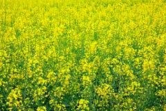 Paesaggio giallo del colza oleifero Fotografia Stock
