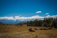 Paesaggio idilliaco con le mucche che pascono nei prati verdi freschi Fotografie Stock Libere da Diritti