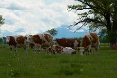 Paesaggio idilliaco davanti alle alpi con le mucche Immagine Stock
