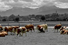 Paesaggio idilliaco davanti alle alpi con le mucche Immagini Stock