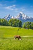 Paesaggio idilliaco di estate nelle alpi con le mucche che pascono Fotografia Stock Libera da Diritti