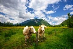 Paesaggio idilliaco nelle alpi con le mucche che pascono nei prati verdi freschi, in Ettal e in Oberammergau, Baviera, Germania Immagine Stock Libera da Diritti