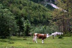 Paesaggio idilliaco nelle alpi con le mucche che pascono nel verde fresco m. Fotografie Stock Libere da Diritti