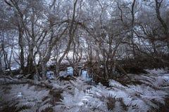Paesaggio infrarosso frequentante spettrale surreale della foresta con il passo falso Immagine Stock