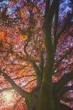 Paesaggio maestoso con l'albero di rosso di autunno Fotografia Stock Libera da Diritti