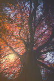 Paesaggio maestoso con l'albero rosso di autunno (rosso di acer platanoides) Fotografie Stock