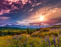 Paesaggio maestoso della montagna con il campo di fioritura del lupino su un sole Immagine Stock
