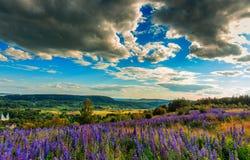 Paesaggio maestoso della montagna con il campo di fioritura del lupino un giorno soleggiato Fotografia Stock Libera da Diritti