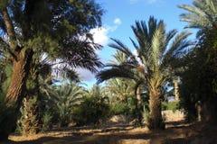 Paesaggio marocchino di una piantagione della palma Immagini Stock Libere da Diritti
