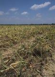Paesaggio maturo dei campi della cipolla Fotografie Stock Libere da Diritti