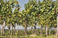 Paesaggio mediterraneo rurale con le vigne Immagine Stock