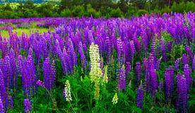Paesaggio meraviglioso Paesaggio maestoso della montagna con il campo di fioritura del lupino un giorno soleggiato Fotografie Stock