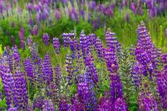 Paesaggio meraviglioso Paesaggio maestoso della montagna con il campo di fioritura del lupino un giorno soleggiato Immagine Stock Libera da Diritti