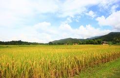 paesaggio naturale dell'azienda agricola del riso agricoltura di coltivazione Fotografia Stock
