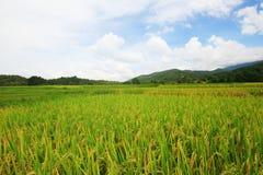 paesaggio naturale dell'azienda agricola del riso agricoltura di coltivazione Fotografie Stock Libere da Diritti