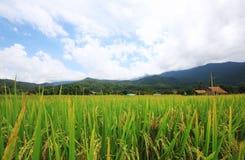 paesaggio naturale dell'azienda agricola del riso agricoltura di coltivazione Immagini Stock
