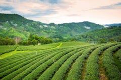 Paesaggio naturale di erosione del tè sul moutain in Chaingrai p Fotografie Stock Libere da Diritti