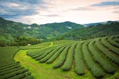 Paesaggio naturale di erosione del tè sul moutain in Chaingrai p Immagine Stock