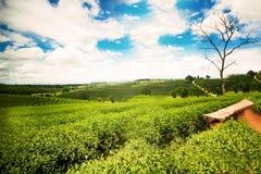 Paesaggio naturale di erosione del tè sul moutain in Chaingrai p Immagini Stock