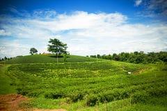 Paesaggio naturale di erosione del tè sul moutain in Chaingrai p Immagini Stock Libere da Diritti