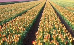 Paesaggio olandese del campo delle lampadine del tulipano fotografia stock