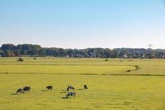 Paesaggio olandese del prato con le mucche in sole di mattina fotografia stock libera da diritti