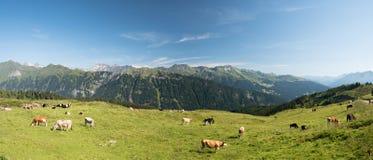 Paesaggio panoramico con le mucche che pascono su un prato alpino verde Fotografia Stock Libera da Diritti