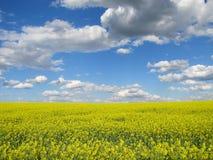 Paesaggio panoramico di un giacimento del seme di ravizzone sotto cielo blu e le nuvole Brassica napus fotografie stock libere da diritti