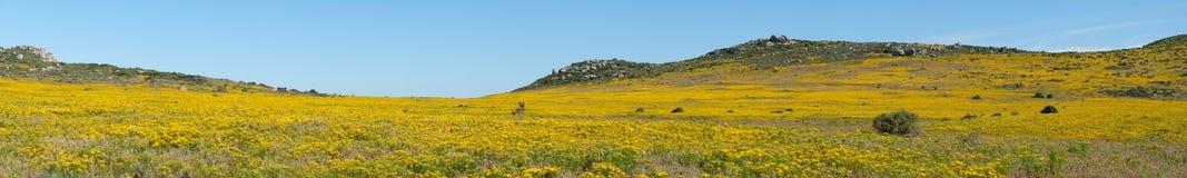 Paesaggio panoramico di un prato dei fiori sulla costa ovest del Sudafrica Fotografia Stock Libera da Diritti