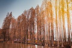 Paesaggio - parco del pino il giorno del sole della stagione invernale Fotografia Stock
