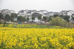 Paesaggio pastorale del canola lento internazionale della città di yaxi di Nanchino agricolo fotografia stock