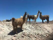 Paesaggio in peperoncino rosso del deserto di Atacama Immagini Stock