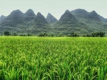 Paesaggio pittoresco della contea di Yangsuo in Cina Risaia con il riso maturo nella priorità alta Fotografia Stock
