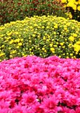 Paesaggio rosa e giallo dei fiori immagini stock