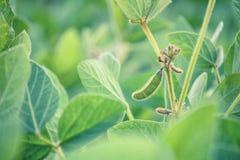 Paesaggio rurale - campo il glycine max della soia fotografie stock